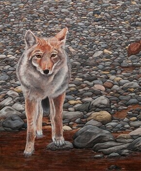 """Coyote on the Rocks"""